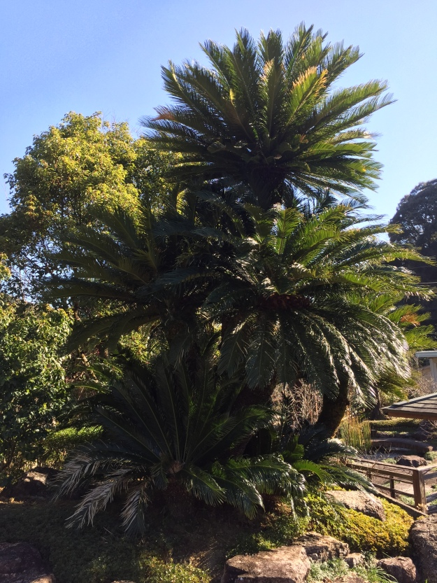 Enormous Japanese Cycad