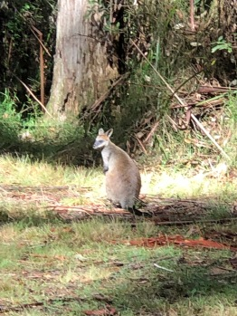 Wallaby in the bush