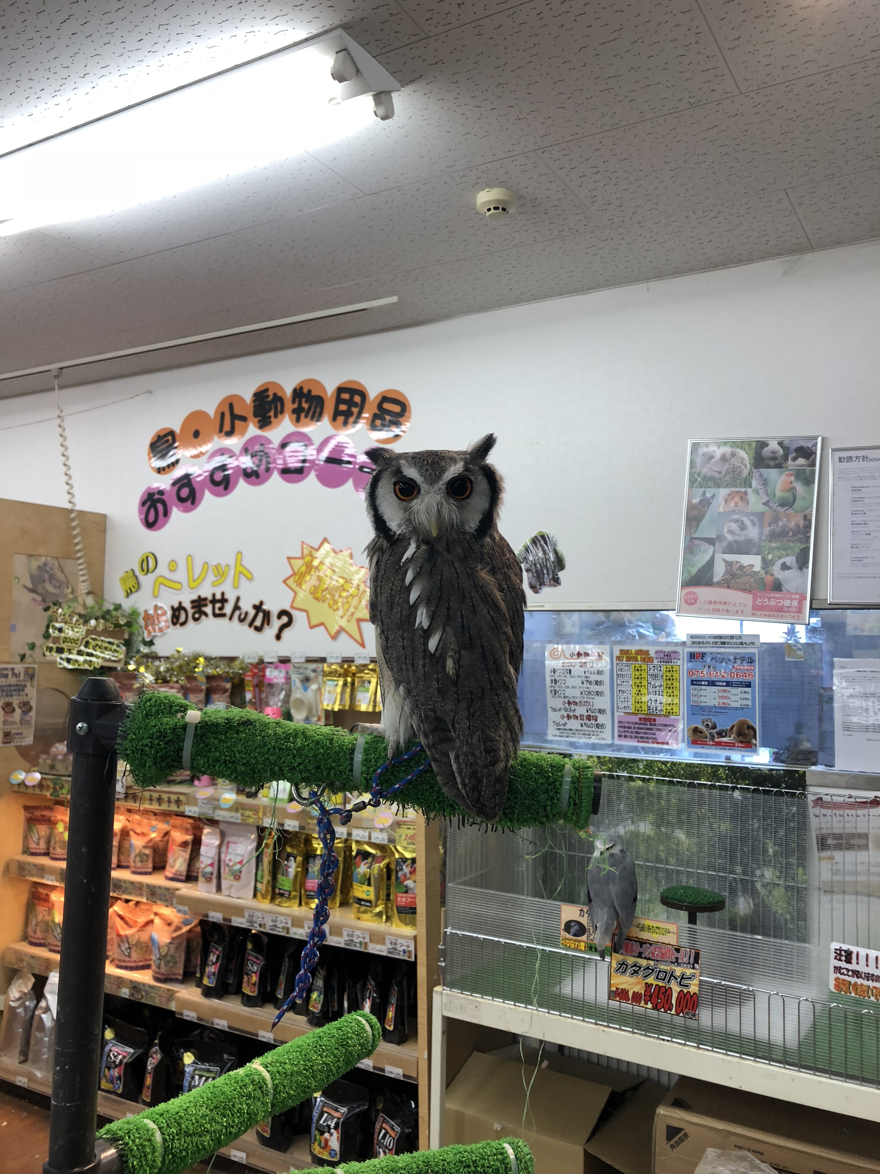An owl sitting on a branch in a pet store in Kyoto