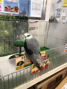 A baby falcon sitting on the edge of a cage in a pet shop in Kyoto in Japan