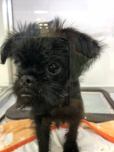 Black Belgian Griffon puppy in a display case in a pet store in Kyoto inJapan