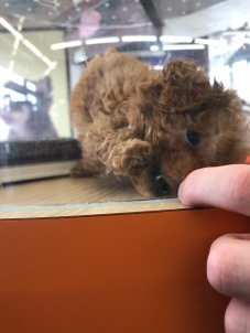 Tiny poodle puppy trying to bite a boy's finger in a pet shop in Japan